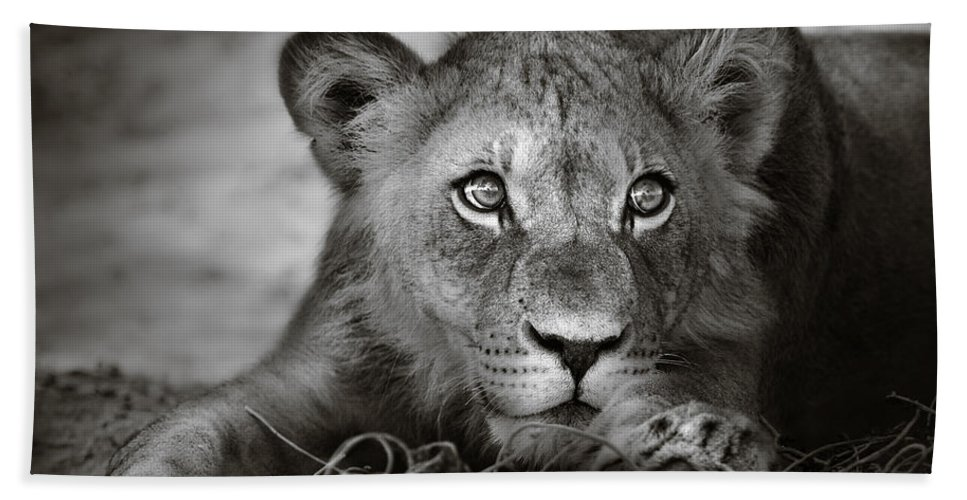 Wild Beach Towel featuring the photograph Young Lion Portrait by Johan Swanepoel
