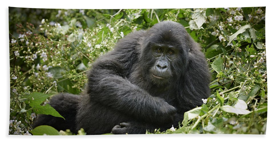 Mountain Gorilla Beach Towel featuring the photograph Young Mountain Gorilla by Juergen Ritterbach