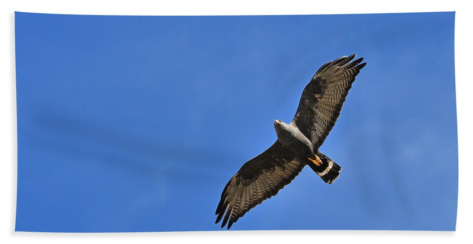 Zone-tailed Hawk Beach Towel featuring the photograph Zone-tailed Hawk by Tony Beck