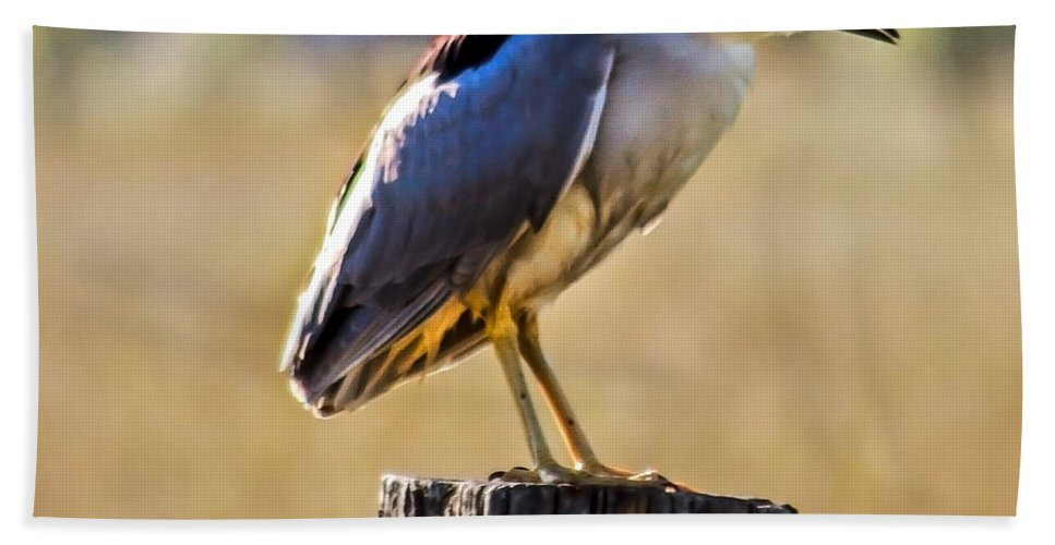 Birds Beach Towel featuring the photograph Black-crowned Night Heron by Robert Bales