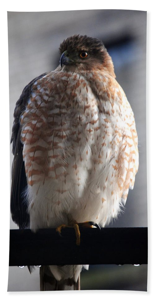 Beach Towel featuring the photograph 06 Falcon by Michael Frank Jr