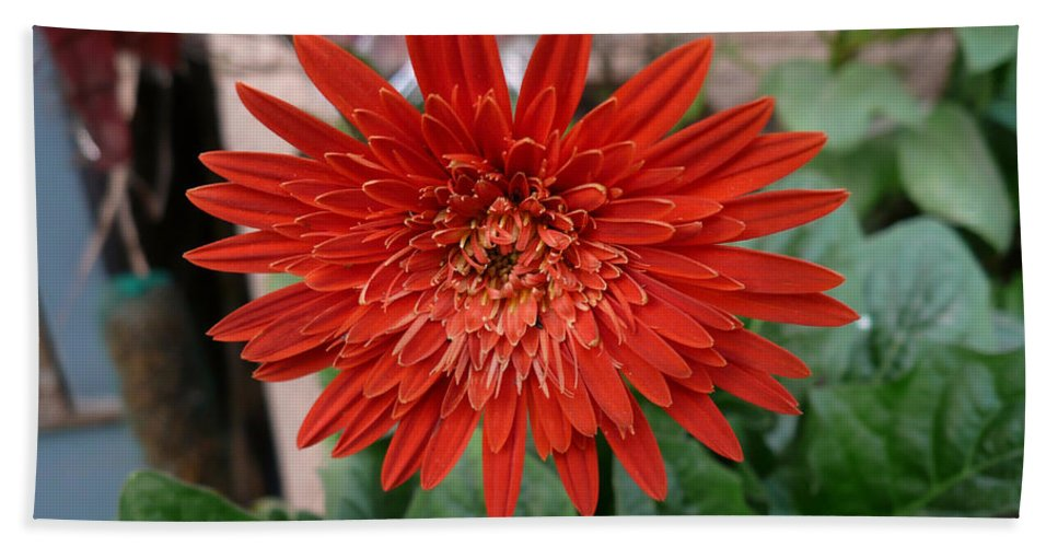 Beautiful Beach Towel featuring the photograph A Beautiful Red Flower Growing At Home by Ashish Agarwal
