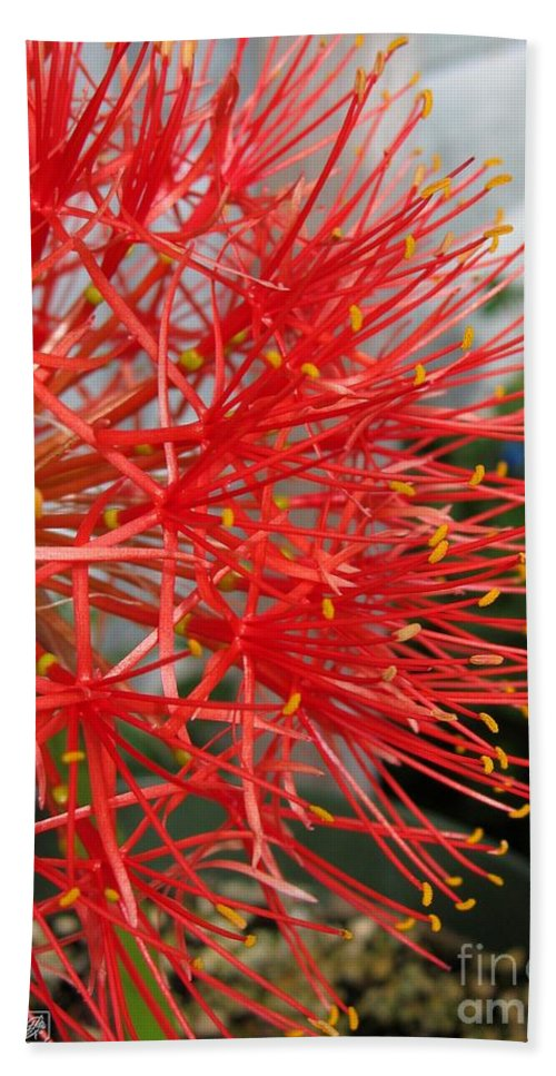 African Blood Lily Beach Towel featuring the photograph African Blood Lily Or Fireball Lily by J McCombie