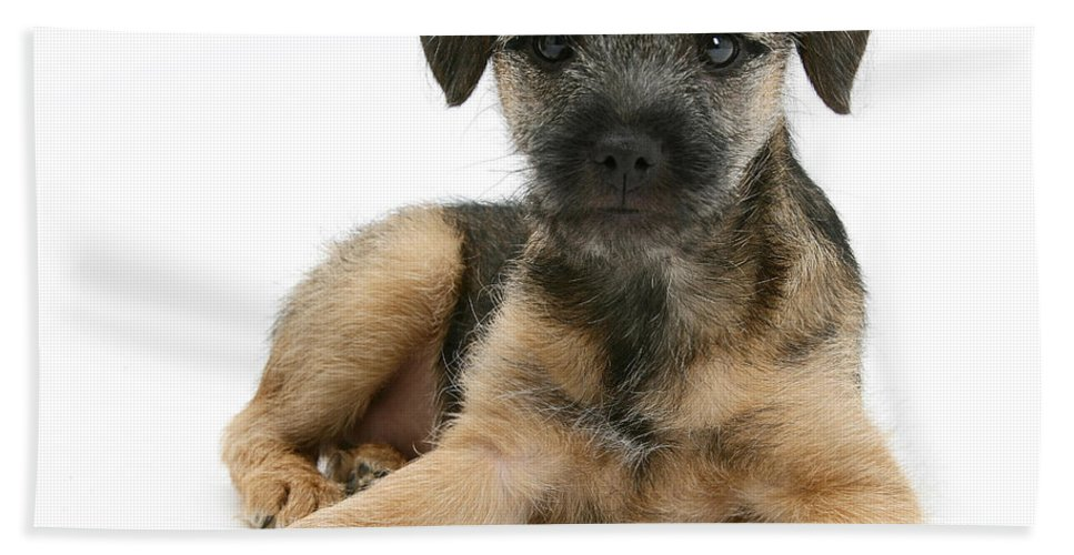 Animal Beach Towel featuring the photograph Border Terrier Puppy by Mark Taylor