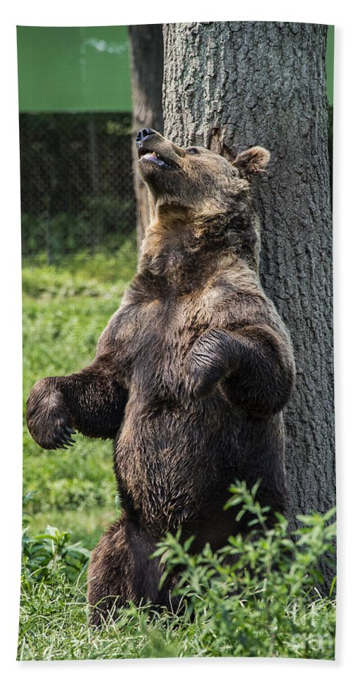 Brown Bear Beach Towel featuring the photograph Brown Bear Itch by John Greim