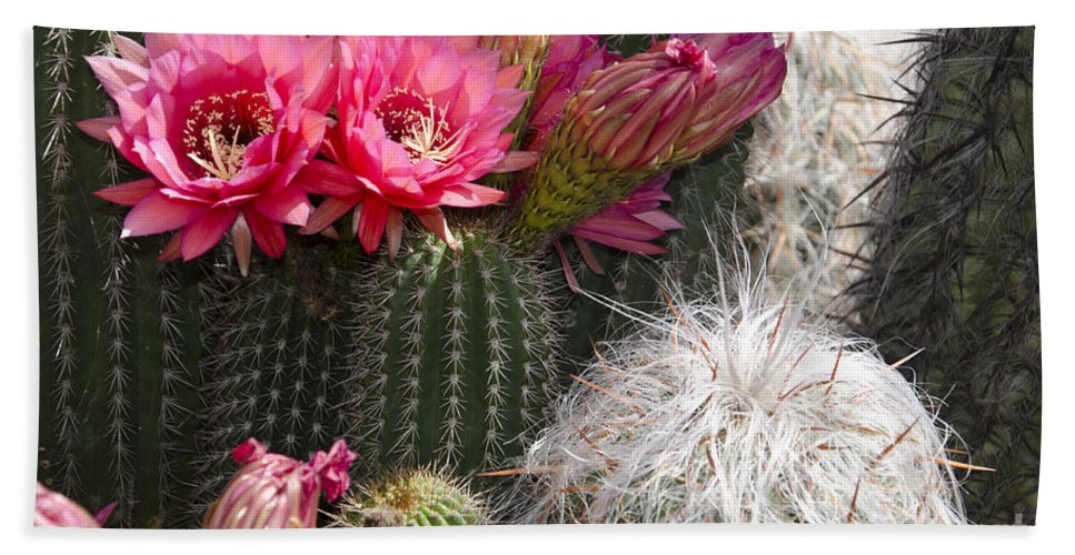 Pink Beach Towel featuring the photograph Cactus Garden by Jim And Emily Bush