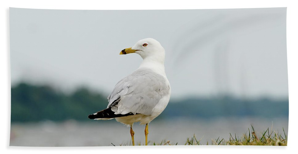 Animal Beach Towel featuring the photograph Common Gull by Roderick Bley