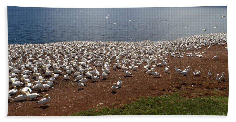 Northern Gannet Beach Towel featuring the photograph Gannet Colony by Ted Kinsman