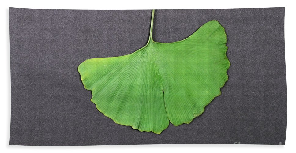 Botany Beach Towel featuring the photograph Ginkgo Leaf by Photo Researchers, Inc.