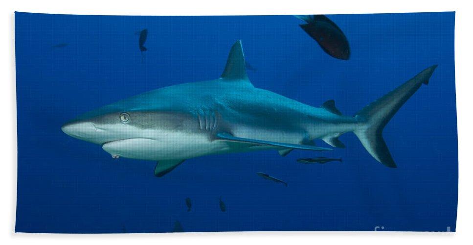 Chondrichthyes Beach Towel featuring the photograph Gray Reef Shark, Kimbe Bay, Papua New by Steve Jones