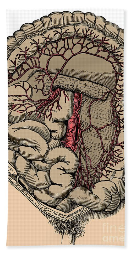 Human Beach Towel featuring the photograph Inferior Mesenteric Artery And The Aorta by Science Source