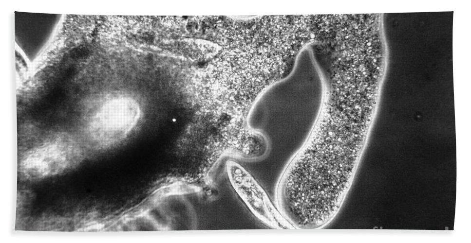 Series Beach Towel featuring the photograph Lm Of Amoeba Catching Paramecium by Eric V. Grave