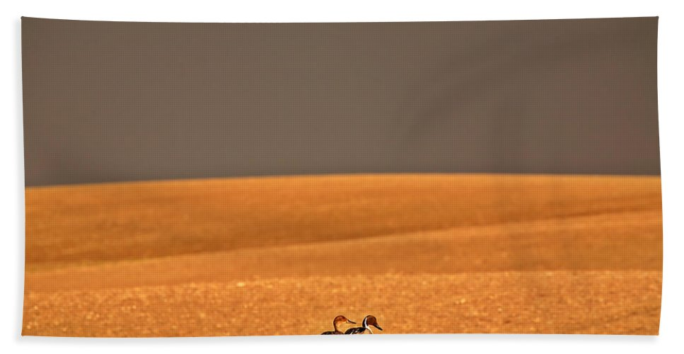 Northern Beach Towel featuring the photograph Northern Pintail Pair Out Walking In Saskatchewan Field by Mark Duffy