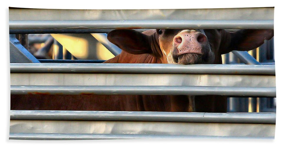 Cow Beach Towel featuring the photograph Nosey by John Lewis