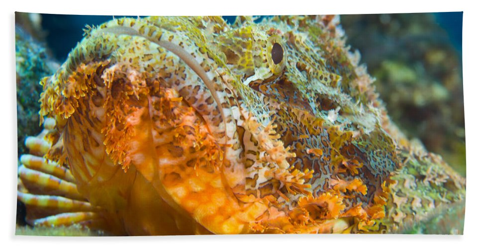Osteichthyes Beach Towel featuring the photograph Papuan Scorpionfish Lying On A Reef by Steve Jones