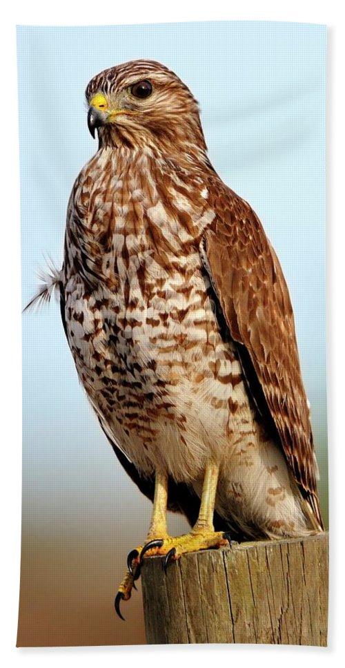 Red Beach Towel featuring the photograph Portrait Of A Red Shouldered Hawk by Bill Dodsworth