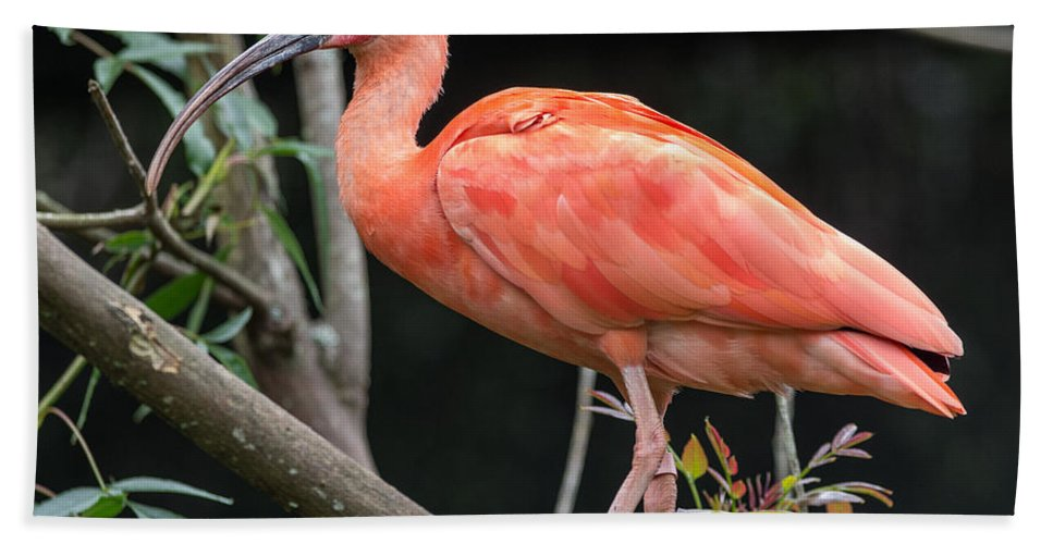 Animal Beach Towel featuring the photograph Scarlet Ibis by Greg Nyquist