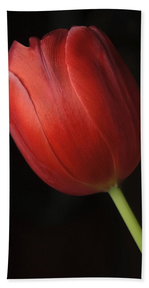 Close Up Beach Towel featuring the photograph Valentine Tulip by Sean Wray