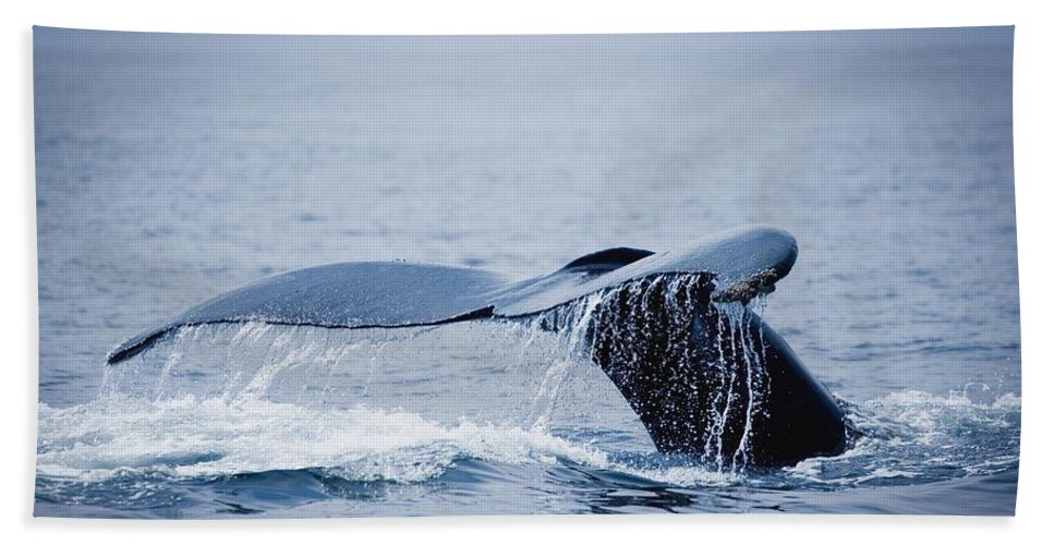 Outdoors Beach Towel featuring the photograph Whales Fluke by Darren Greenwood