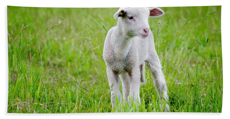 Sheep Beach Towel featuring the photograph Young Sheep by Mats Silvan