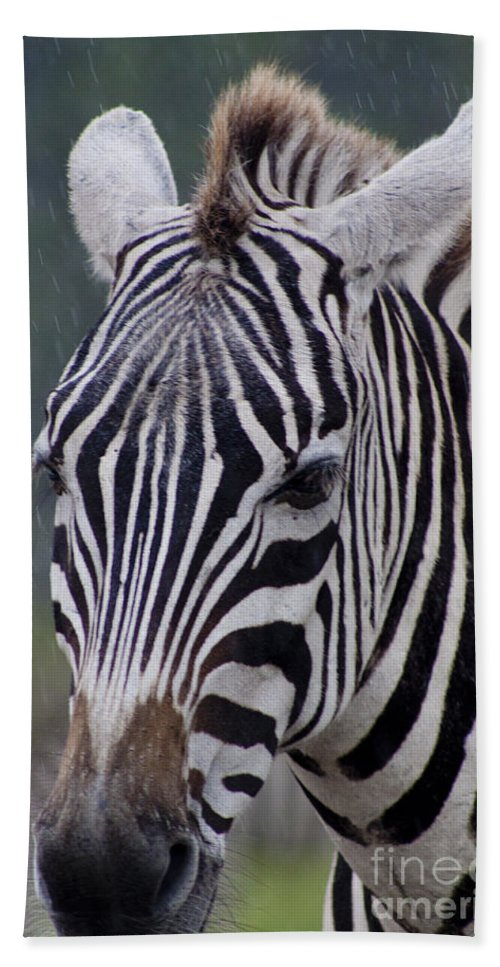 African Beach Towel featuring the photograph Zebra by Thomas Marchessault