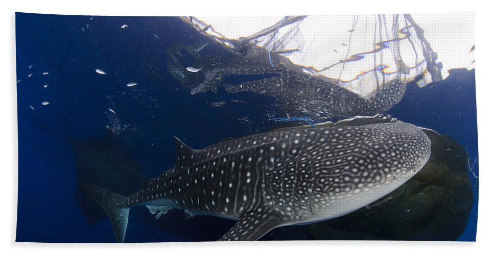 Day Beach Towel featuring the photograph Whale Shark Feeding Under Fishing by Steve Jones