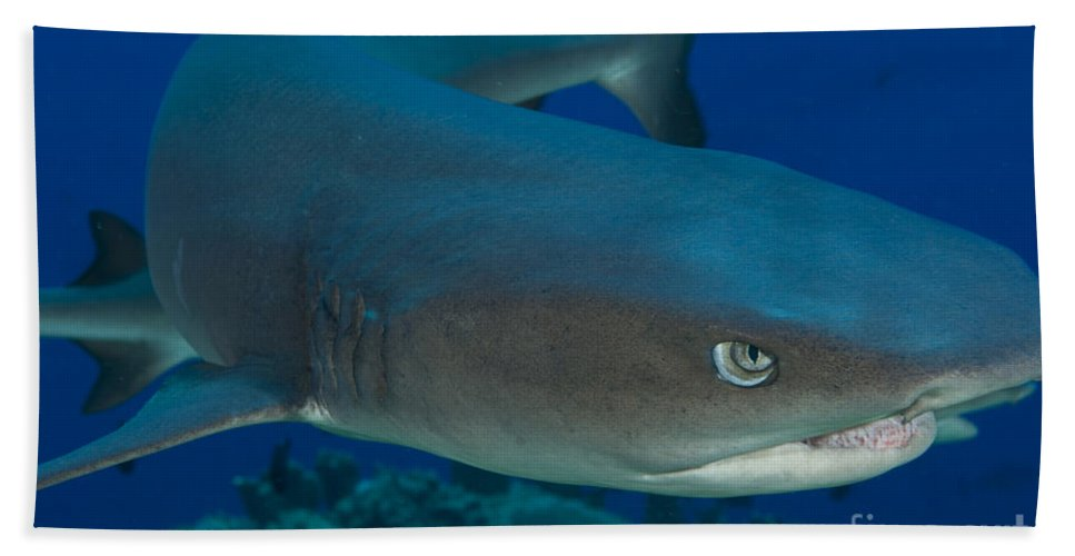 Chondrichthyes Beach Towel featuring the photograph Whitetip Reef Shark, Kimbe Bay, Papua by Steve Jones