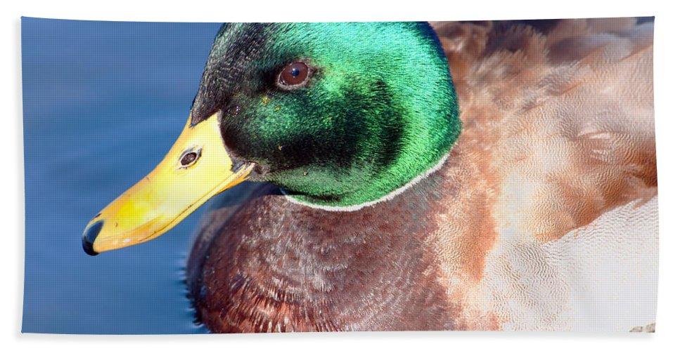 Duck Beach Towel featuring the photograph Mallard Drake Portrait by Regina Geoghan