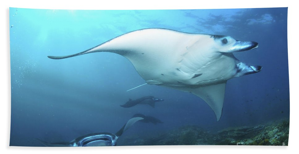 Indonesia Beach Towel featuring the photograph Manta Rays, Komodo, Indonesia by Mathieu Meur