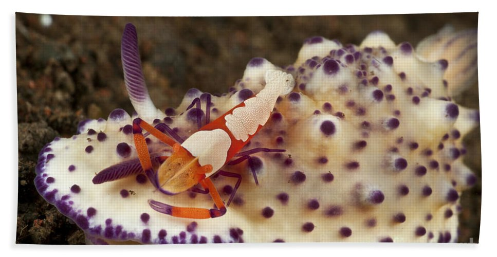 Symbiotic Relationship Beach Towel featuring the photograph Nudibranch With Orange Emperor Shrimp by Mathieu Meur