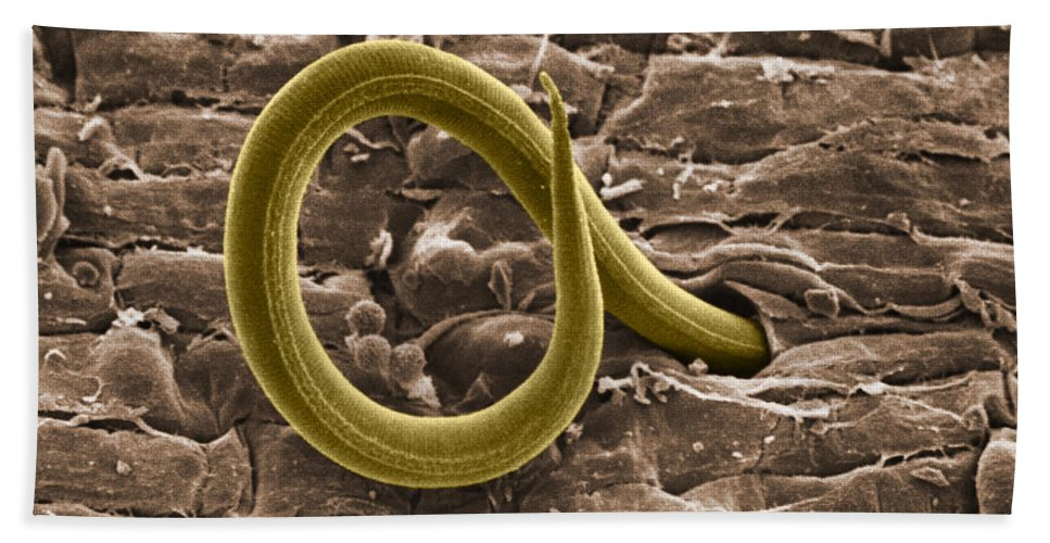 Zoology Beach Towel featuring the photograph Root Knot Nematode Sem by Science Source