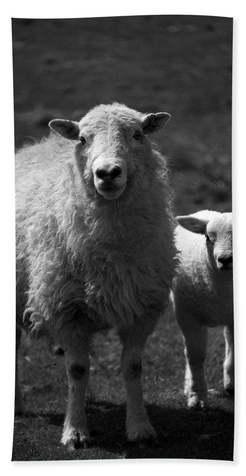 Farm Beach Towel featuring the photograph Sheep by Svetlana Sewell
