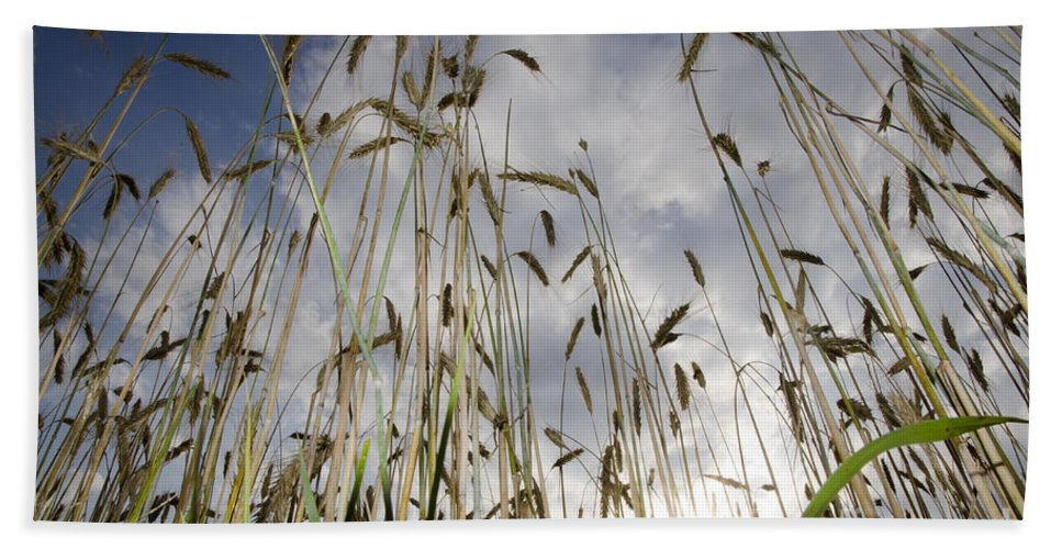 White Beach Towel featuring the photograph Wheat Field by Mats Silvan