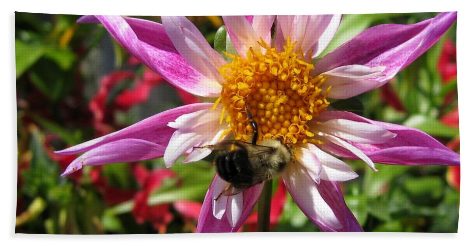 Dahlia Beach Towel featuring the photograph Dahlia Named Lorona Dawn by J McCombie