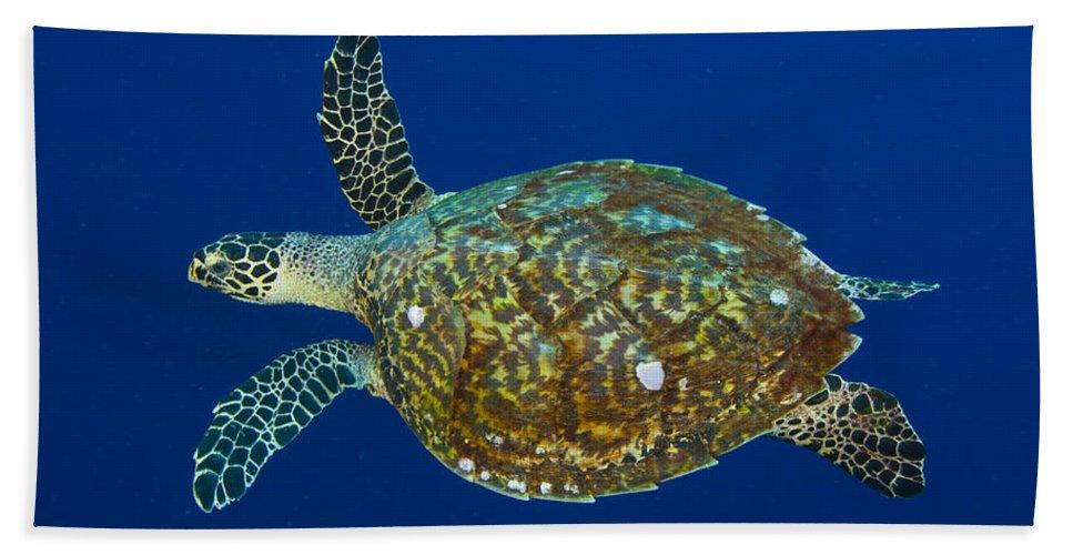 Cheloniidae Beach Towel featuring the photograph Hawksbill Sea Turtle, Kimbe Bay, Papua by Steve Jones
