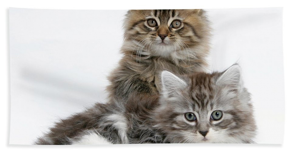 Animal Beach Towel featuring the photograph Maine Coon Kittens by Mark Taylor