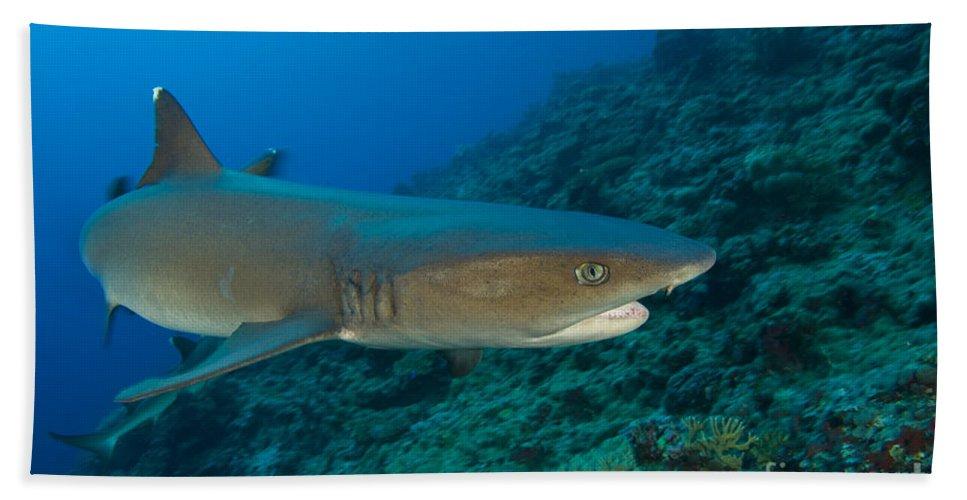 Kimbe Bay Beach Towel featuring the photograph Whitetip Reef Shark, Kimbe Bay, Papua by Steve Jones