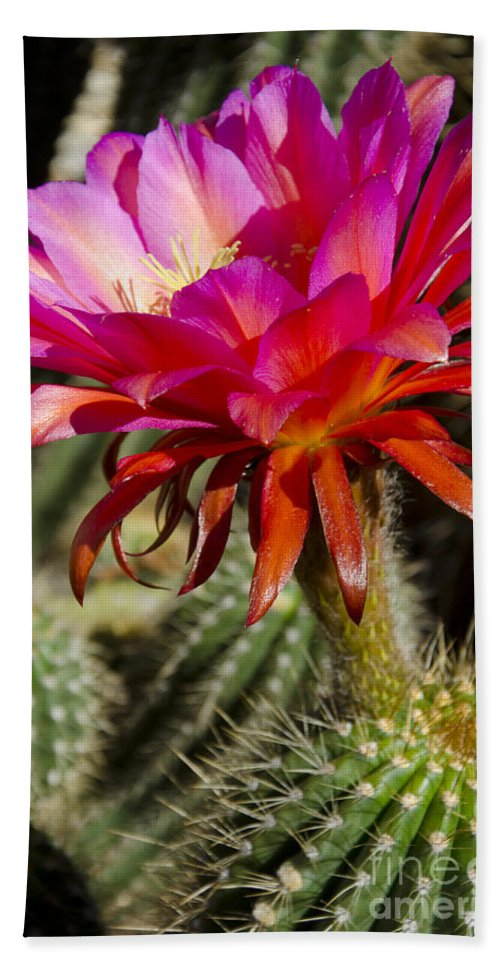 Red Beach Towel featuring the photograph Dark Pink Cactus Flower by Jim And Emily Bush