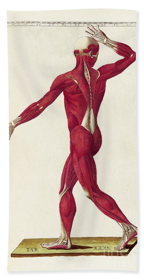 Bartholomeo Eustachi Beach Towel featuring the photograph Historical Anatomical Illustration by Science Source