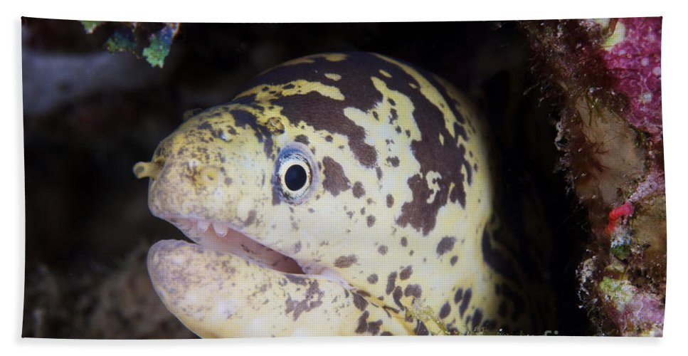Bonaire Beach Towel featuring the photograph A Chain Moray Eel Peers Out Of Its Hole by Terry Moore