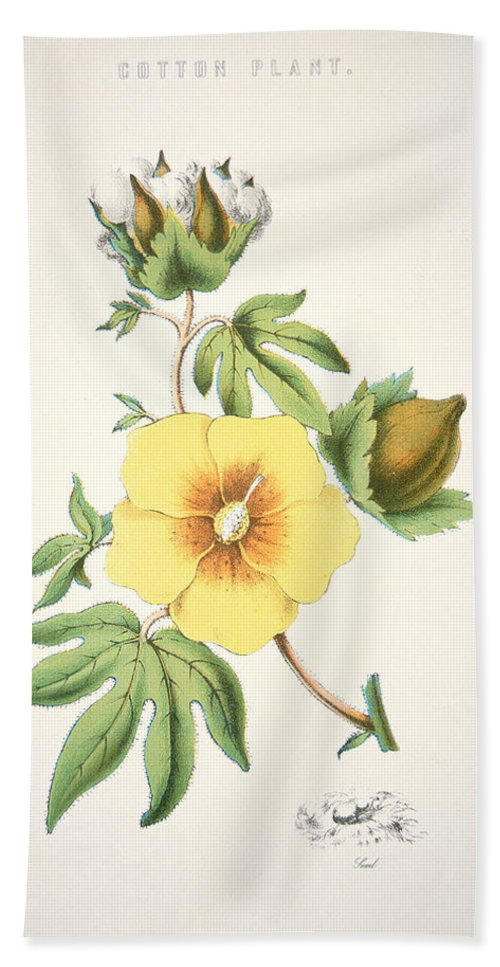 Flower; Agriculture; Agricultural; Crop; Gopypium Arboreum; Branch; Leaf; Bud; Textile; Deep South; Cotton Is King Beach Towel featuring the painting A Cotton Plant by American School