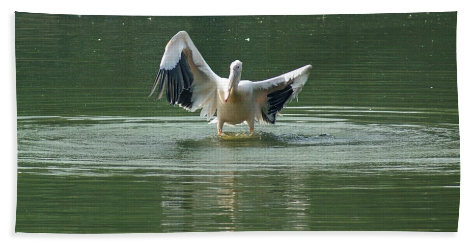 Delhi Beach Towel featuring the photograph A Pelican Drying Its Wings After Landing In The Lake Inside Delhi Zoo by Ashish Agarwal