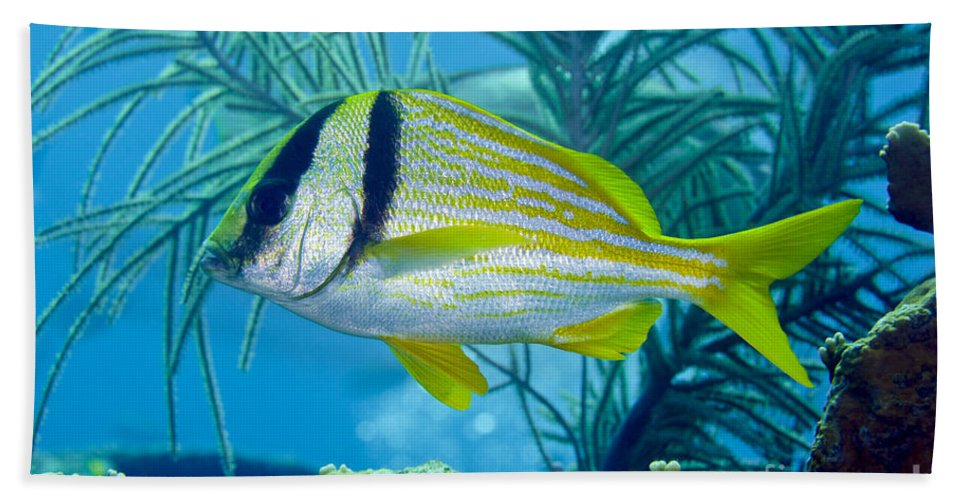 Sea Life Beach Towel featuring the photograph A Porkfish Swims By Sea Plumes by Terry Moore