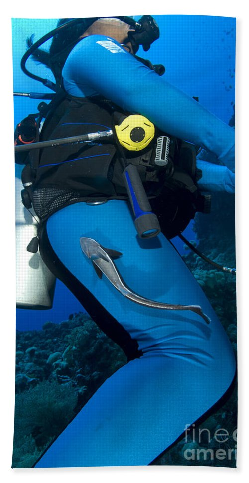 Osteichthyes Beach Towel featuring the photograph A Remora Attached To A Diver, Kimbe by Steve Jones