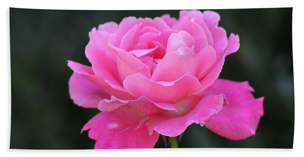 Prints Beach Towel featuring the photograph A Rose by Travis Truelove