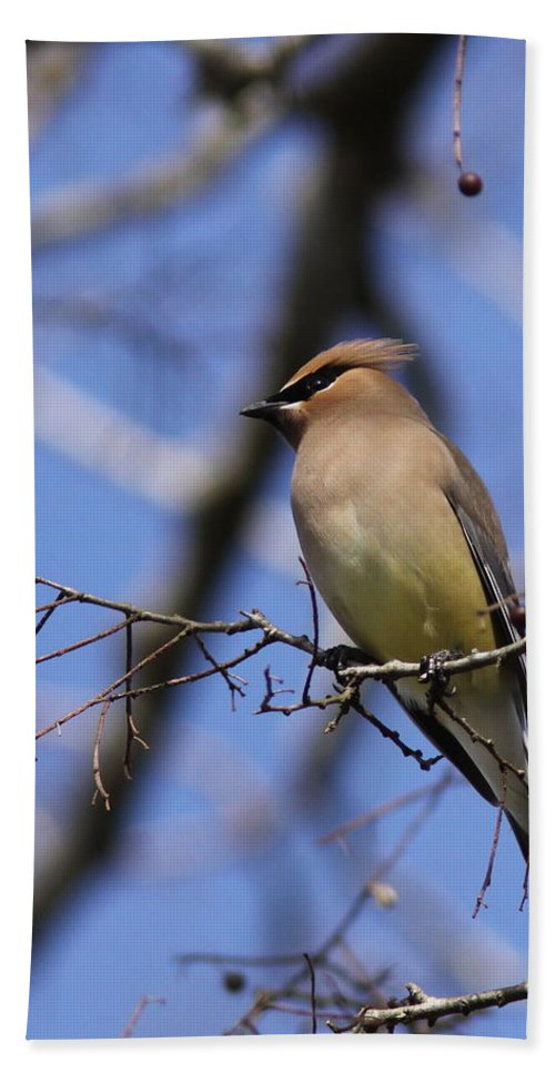 Cedar Waxwing Beach Towel featuring the photograph A Touch Of Class by Travis Truelove