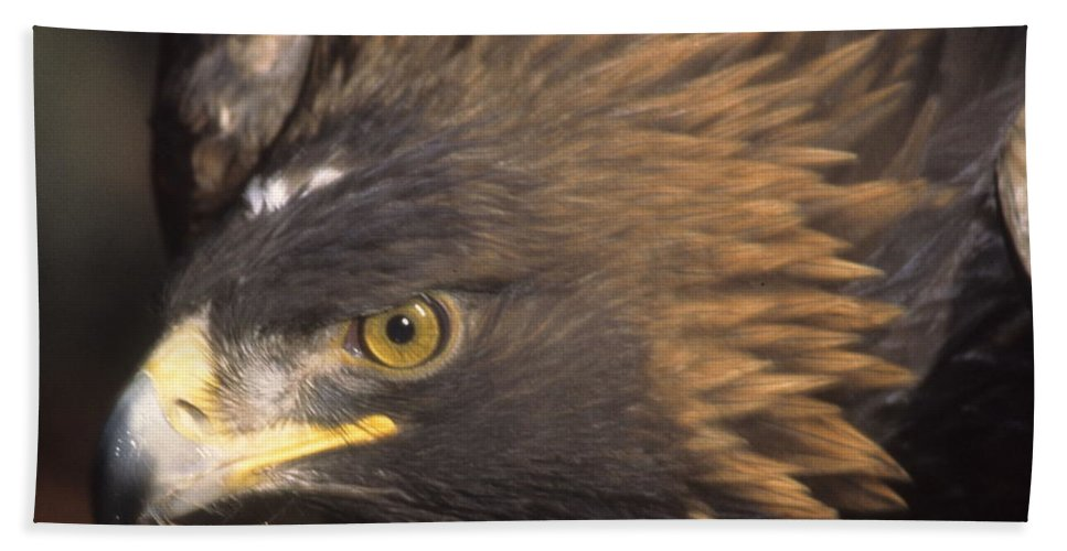 Eagle Beach Towel featuring the photograph Alert Golden Eagle by Larry Allan