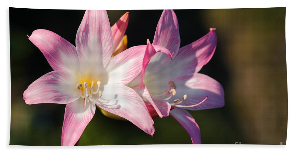 Amaryllis Belladonna Beach Towel featuring the photograph Amaryllis Belladonna by Gaspar Avila