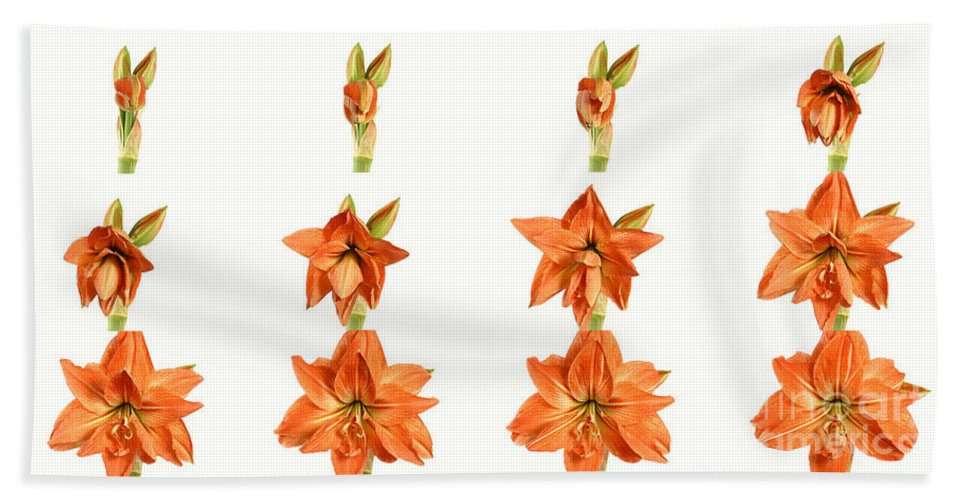 Plant Beach Towel featuring the photograph Amaryllis Blooming by Ted Kinsman
