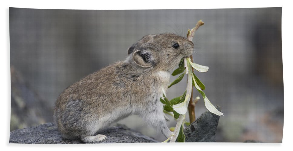Mp Beach Towel featuring the photograph American Pika by Michael Quinton